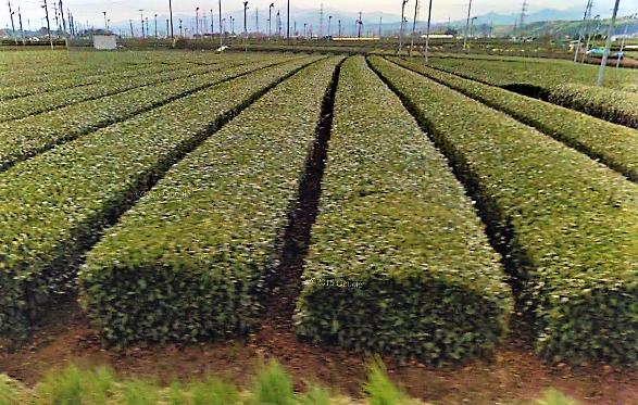 狭山茶の主産地